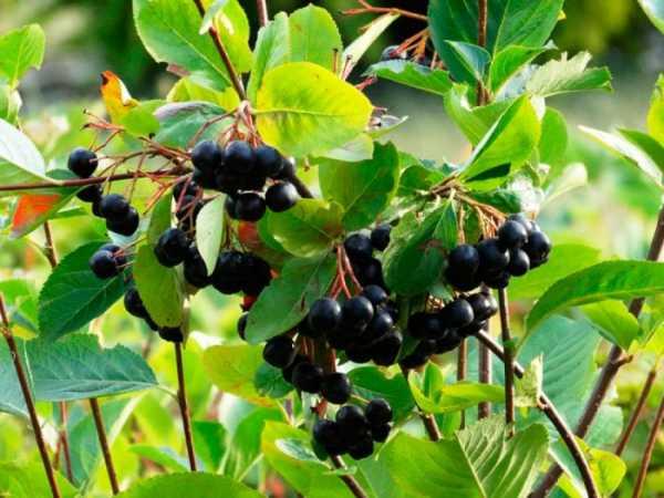 как выкорчевать куст черноплодной рябины